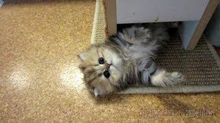 12 07 11 Persian kitty Sahara has fun too, mother of the K Litter