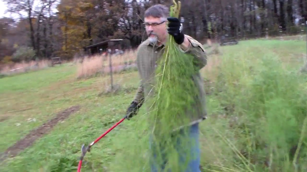 Fall Care of Asparagus - YouTube Planting Asparagus In The Fall