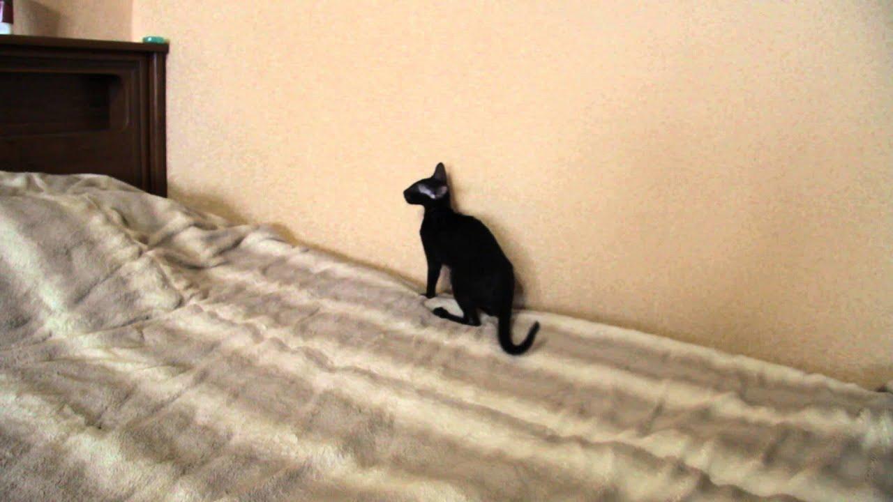 prilično crna ebanovina maca