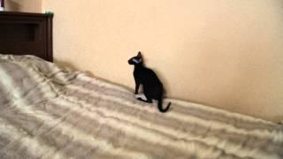 Ориентальная кошка играет / Oriental cat playing