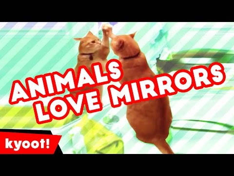 The Funniest Animals and Mirrors Bloopers of 2016 Caught On Tape | Kyoot Animals