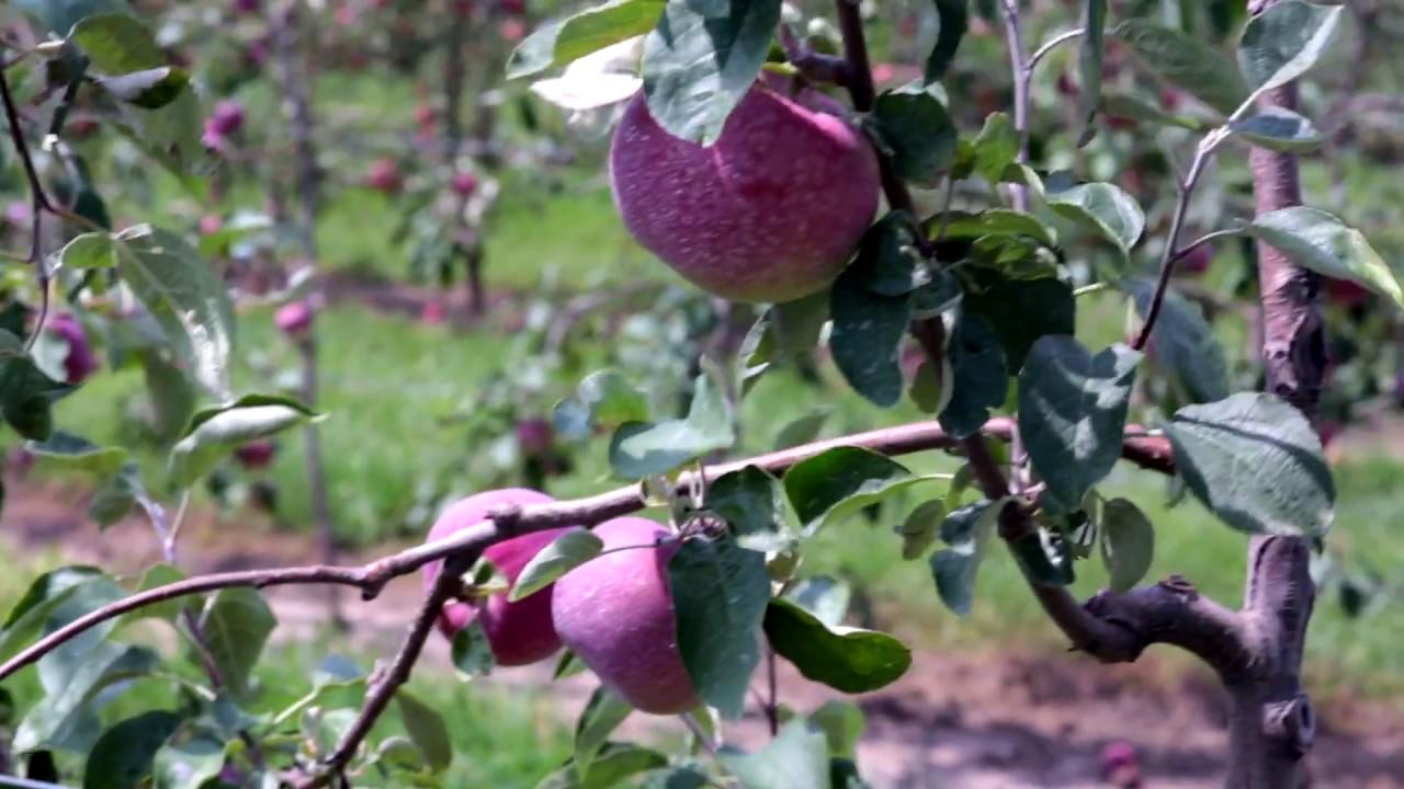 kuipers family farm apple picking
