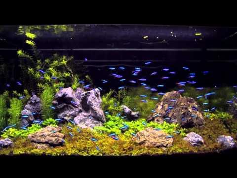 100 cardinal tetra in an aquascaping tank