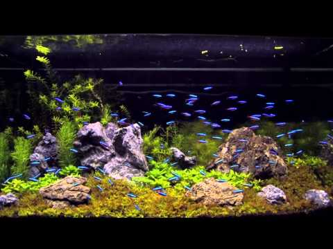 Neon tetras feeding on repashy doovi for Neon fish tank