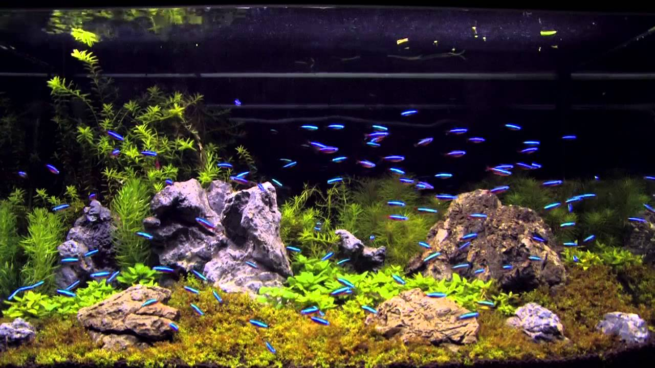 100 cardinal tetra in an aquascaping tank youtube for Tetra acquario