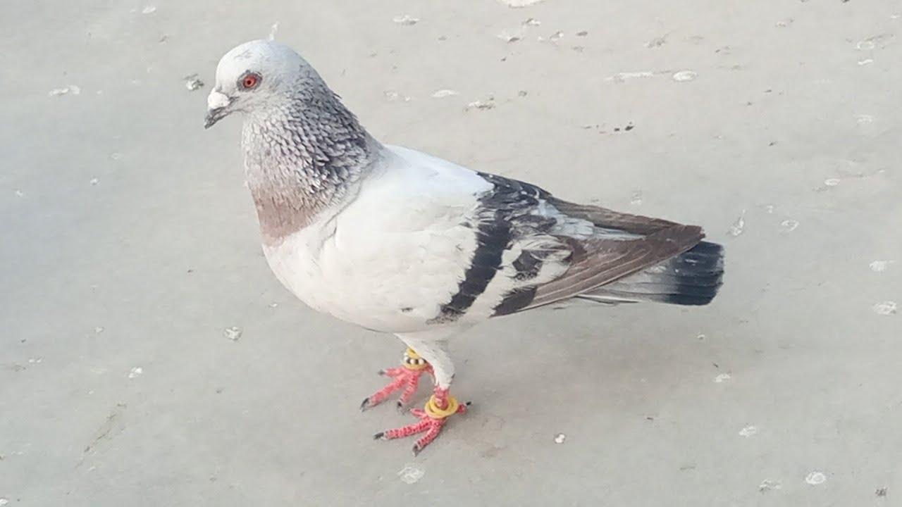 Kabootar Utra Chaht pe - Pati wala , Chatri Wala Kabootar - Pigeons Catching video - Karachi Pigeons