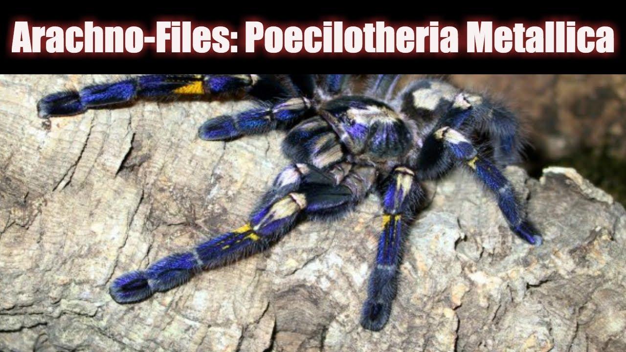Poecilotheria metallica, 2 см. /l3, 2200. Яд. В разработке. Poecilotheria miranda, самка 5 см. /l10-11, 4500. Яд. В разработке. Poecilotheria ornata (шри-ланка), 1 см. /l3, 600. Яд. Паук-птицеед poecilotheria ornata. Poecilotheria vitata ( старое название poecilotheria pederseni), 1 см. /l2, 600. Яд. В разработке.