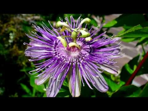 Facts About Passion Flower - Passiflora incarnata