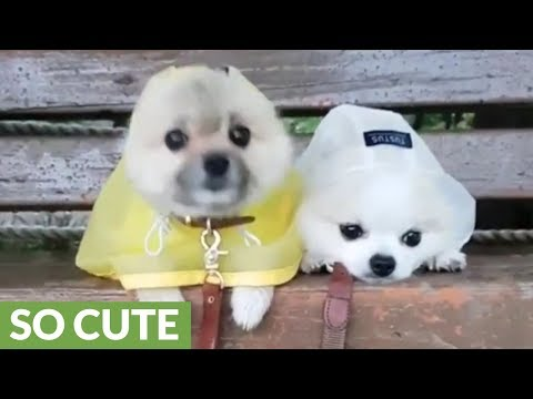 Pomeranian puppies wearing raincoats will make your day!