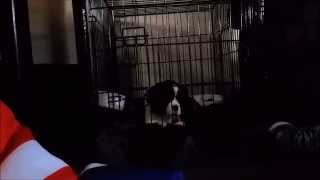Ckcs Puppy - First Night Home & Introducting Crating To A Cavalier King Charles Spaniel (zoe)
