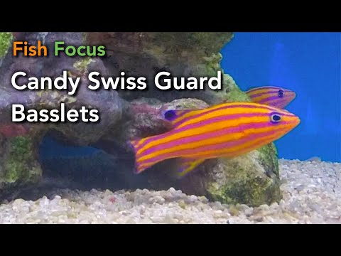 Fish Focus: Candy Swiss Guards - Bonded Pair