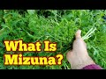 What Is Mizuna: Description & Harvest/ No Dig Organic Allotment Kitchen Garden