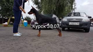 Выставка собак Курск 30.07.17 CACIB - Кубок губернатора Курской области.