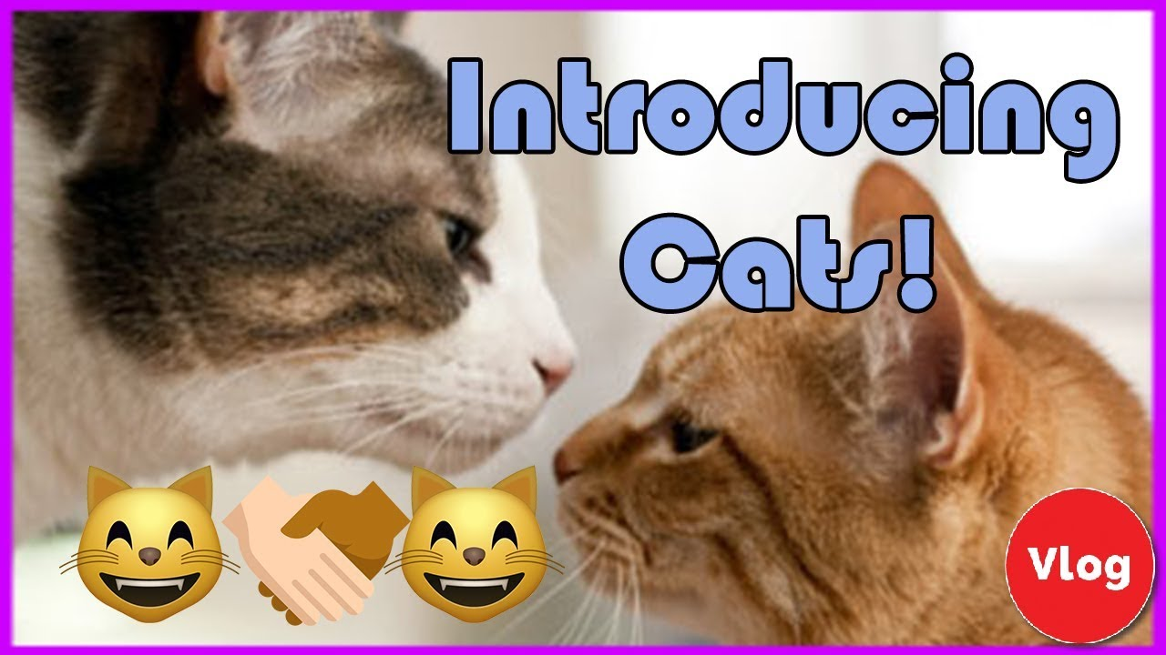 how to introduce a new cat best way to introduce new cats to each other youtube. Black Bedroom Furniture Sets. Home Design Ideas