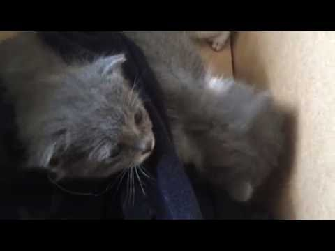 KITTENS CRYING
