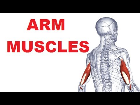 Arm Muscles Anatomy - Posterior Compartment (Extensors) - YouTube