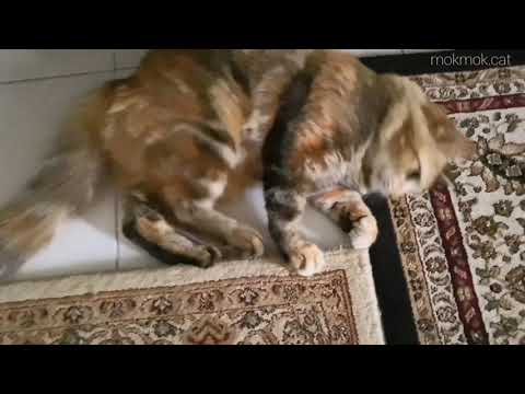 Mokmok the fluffy cat playing with owner