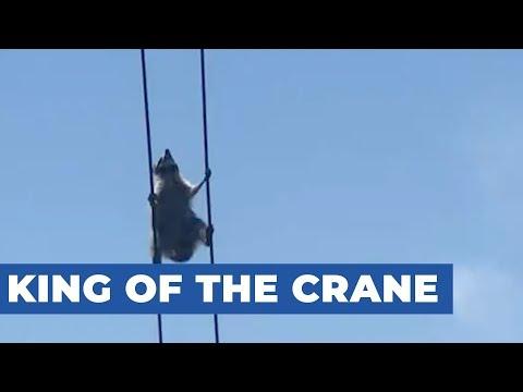 Raccoon Climbs Up And Slides Down Crane