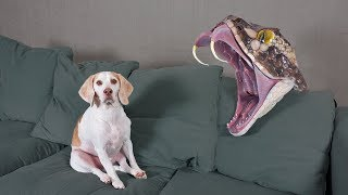 dogs-vs-giant-snake-funny-dogs-maymo-potpie-penny