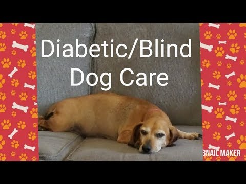 Diabetic And Blind Dog | Insulin Dependent Dog | Diabetes