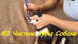 Как чистить зубы собаке. Чистка зубов Той терьеру.