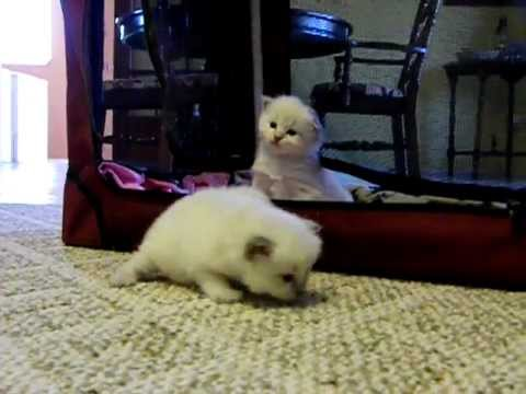 2 Week Old Ragdoll Kittens Exploring For The First Time