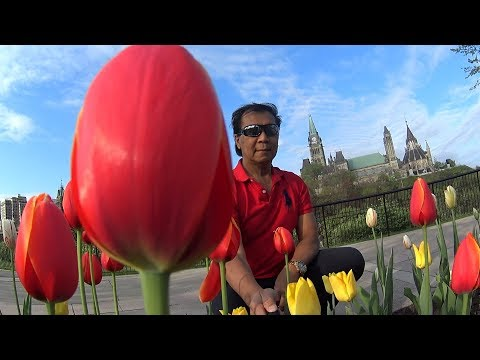 Ottawa Tulips Canada 2018