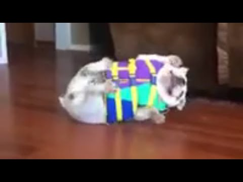 bulldog life vest cute bulldog hates life vest youtube 8987
