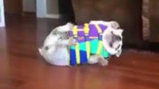 Cute Bulldog Hates Life Vest