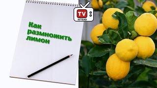 Комнатный лимон - размножение (Часть 2)(Сад и огород с ХитсадТВ #СадиогородКомнатный лимон - как размножить черенками? ❀ Подробнее о комнатных..., 2016-12-14T18:43:46.000Z)