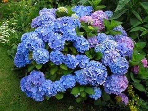 #Hydrangea Beautiful #Flower #Gardens In #Texas