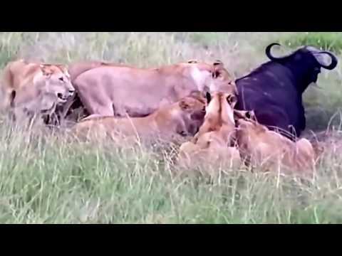 Animal Attack!!! 44 lion eat 1 buffalo