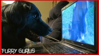 Dog Watches His Own Youtube Videos | Ziggy The Golden Retriever-border Collie Mix