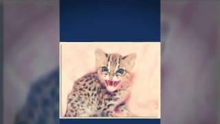 Египетская мау очень редкая порода кошек -cats #2