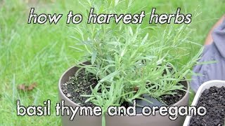 How To Harvest Herbs - Basil Thyme And Oregano