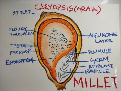 Millet Grain Anatomy