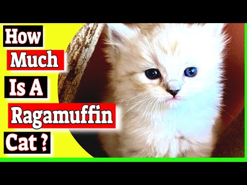 How much is a Ragamuffin cat? Do ragamuffin cats shed a lot?