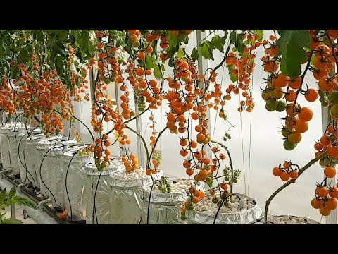 Hydroponic Greenhouse with fully automated system and Climate Controlled System (Urdu/Hindi)