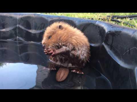 Un encantador castor conquista la Red con sus baños en la piscina