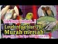 Update Harga Lovebird Parblue Pb Terbaru Desember  Ara Kios Tipar Jakarta Timur  Mp3 - Mp4 Download