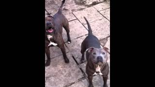 George Likes Toys Blue Staffordshire Bull Terrier Cross Pitbull Playing Fighting