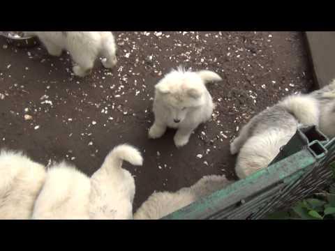 kennel Sormovskaya Zarya For sale Samoyed dog!