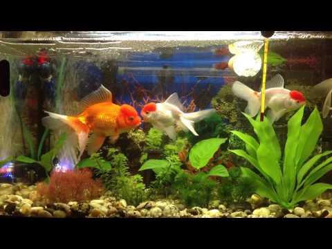 Оранда Красная шапочка Red cap oranda goldfish