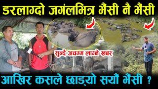 कस्तो अचम्म ! बाघ डुल्ने जङ्गल भरी भैंसी नै भैंसी , कारण यस्तो Buffalo Farm In Nepal Gulmi