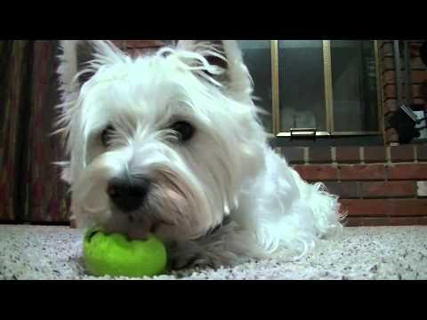 Westie Playing Ball