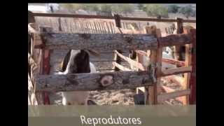 Rebanho Caprino (Fazenda Capa - Pau dos Ferros - RN)