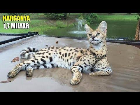 SEEKOR SAMPE 1 MILIAR ! 7 Kucing Paling Mahal Di Dunia