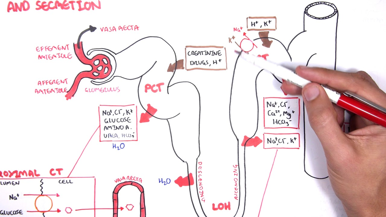nephrology physiology reabsorption and secretion [ 1280 x 720 Pixel ]