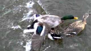 Ducks Mating In A Group