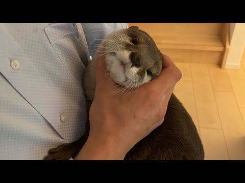 otter-sakura-grasps-the-owner's-return-home-by-the-sound-of-a-car